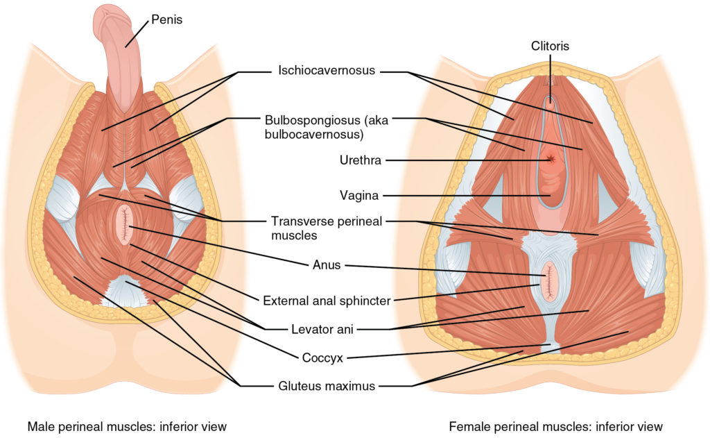 Male and Female Pelvic Floor Muscles